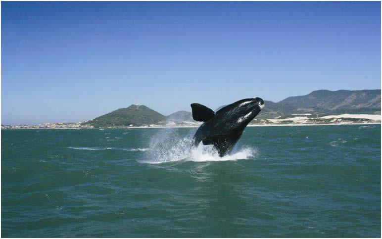 baleias-francas e golfinhos são avistados em litoral sul de sc